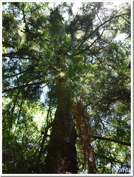 奥武蔵自然歩道 大木