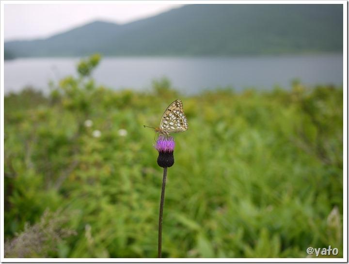 野反湖蝶と花