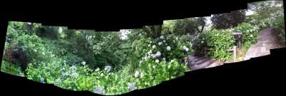 下田公園のアジサイ群生パノラマ