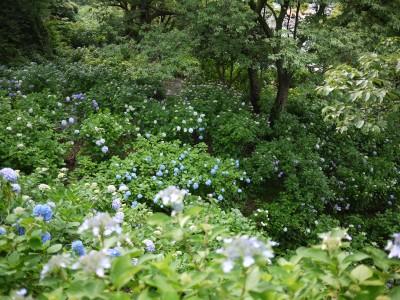 下田公園のアジサイ群生