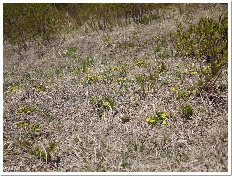 佐渡のドンデン高原の花1