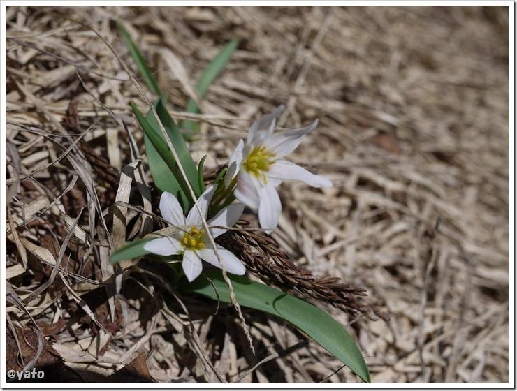 佐渡のドンデン高原の花2
