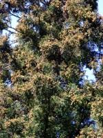 杉花粉 高尾梅郷うめまつり