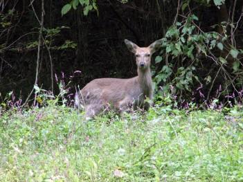 相模原の鹿